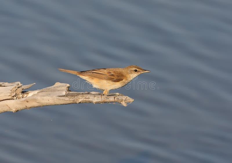 在分支的paddyfield鸣鸟尖头畸型agricola坐水面上 免版税库存图片