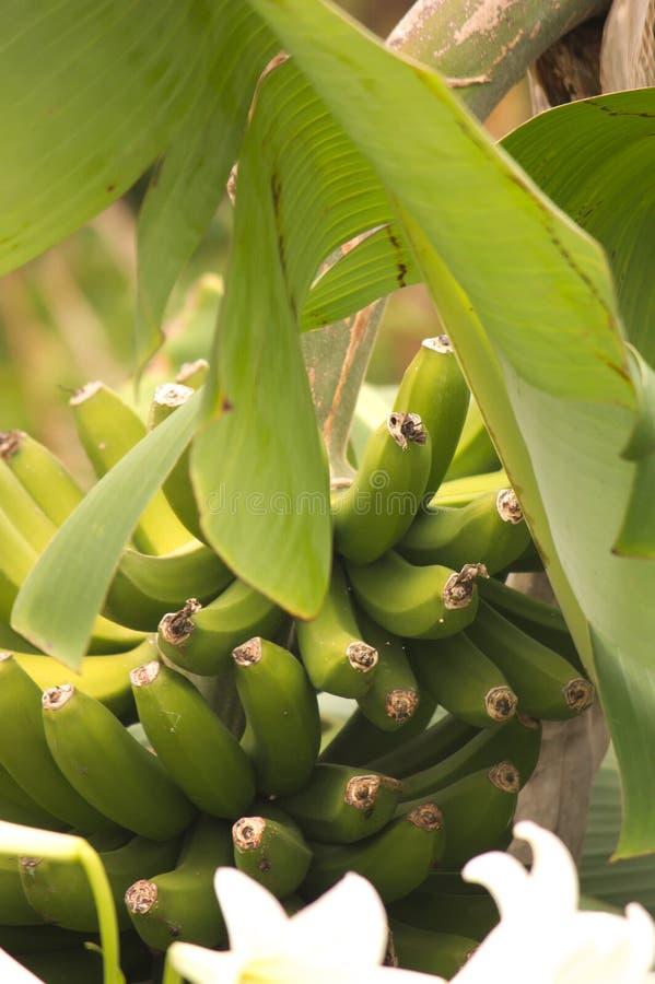在分支看见的绿色香蕉垂悬从树 库存照片