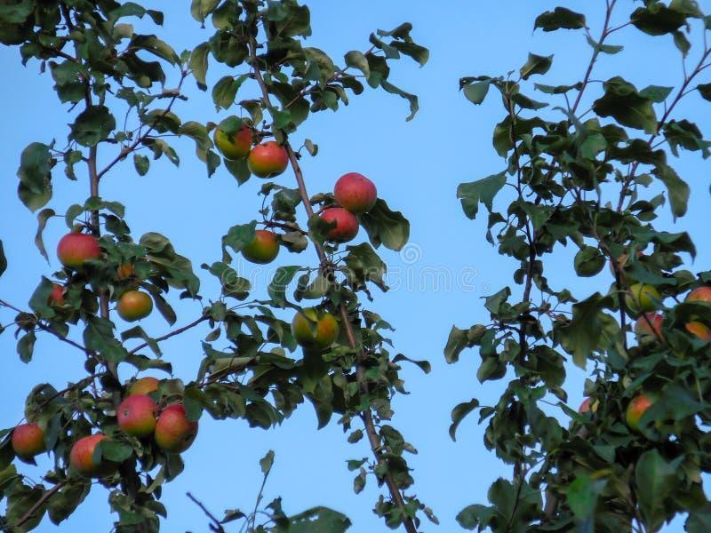 在分支苹果树的成熟红色苹果有天空蔚蓝背景在车里雅宾斯克 免版税库存图片