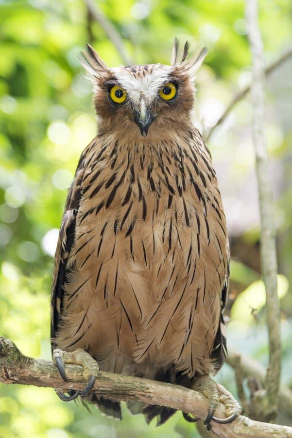 在分支锯的猫头鹰在森林磨猫头鹰猫头鹰 库存照片