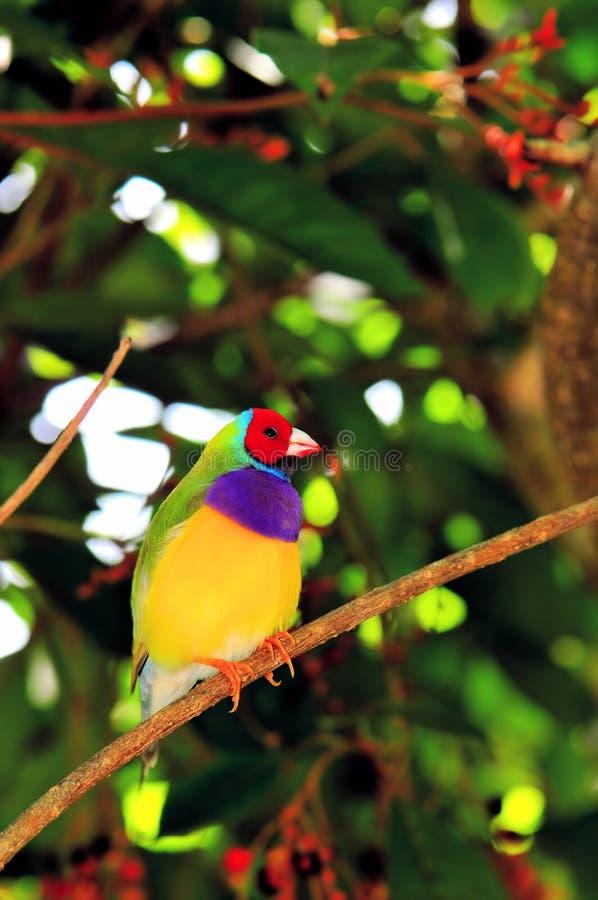 在分支,佛罗里达的公Gouldian Finch夫人鸟 库存照片