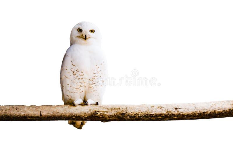 在分支,孤立的白色极性猫头鹰 图库摄影