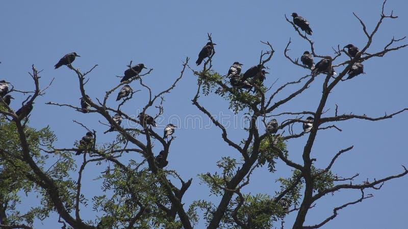 在分支,飞行群,掠夺人群的乌鸦在树,黑鸟的,关闭  免版税库存照片