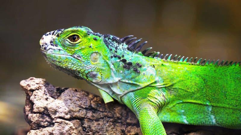 在分支//的绿色鬣鳞蜥一只绿色鬣鳞蜥蜥蜴 爬行动物坐 库存图片