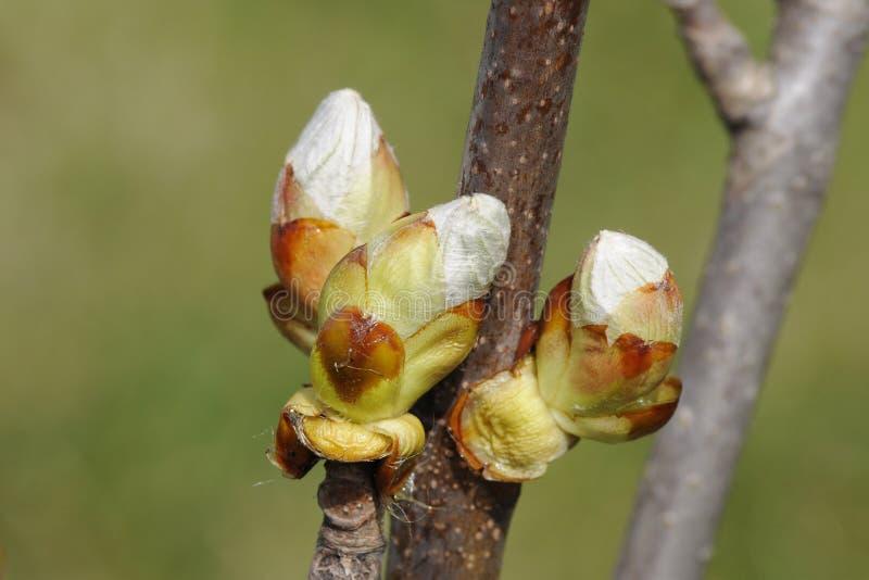 在分行的春天芽 图库摄影