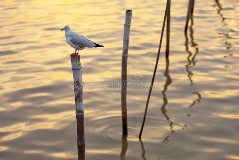 在分行的海鸥在日落时间 库存照片