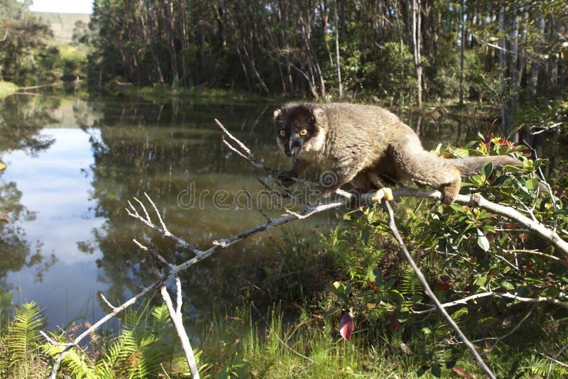 在分行的狐猴 库存照片