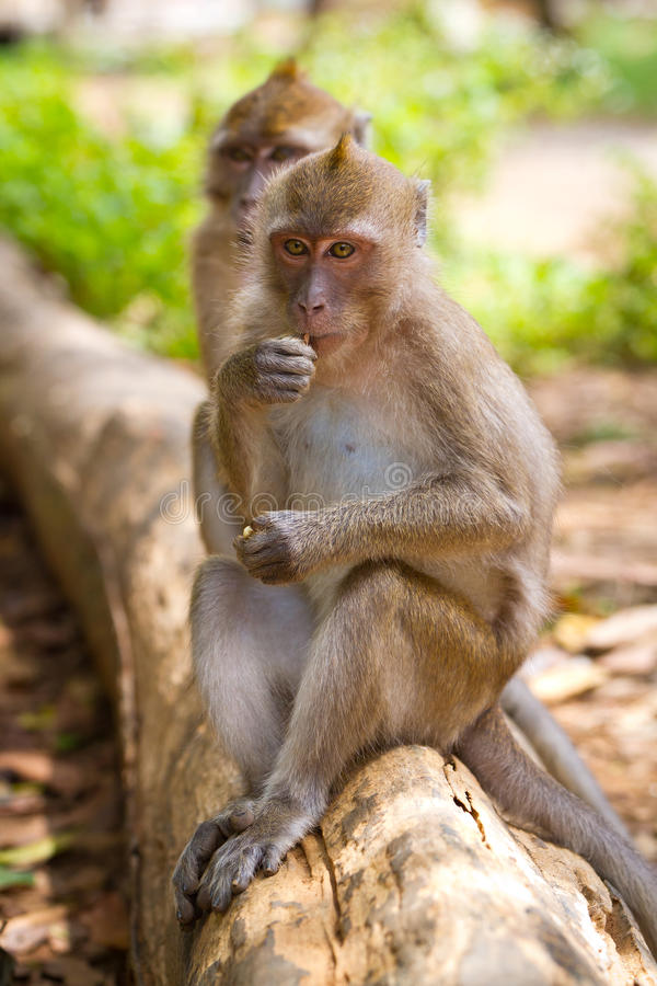 在分行的短尾猿猴子 库存照片