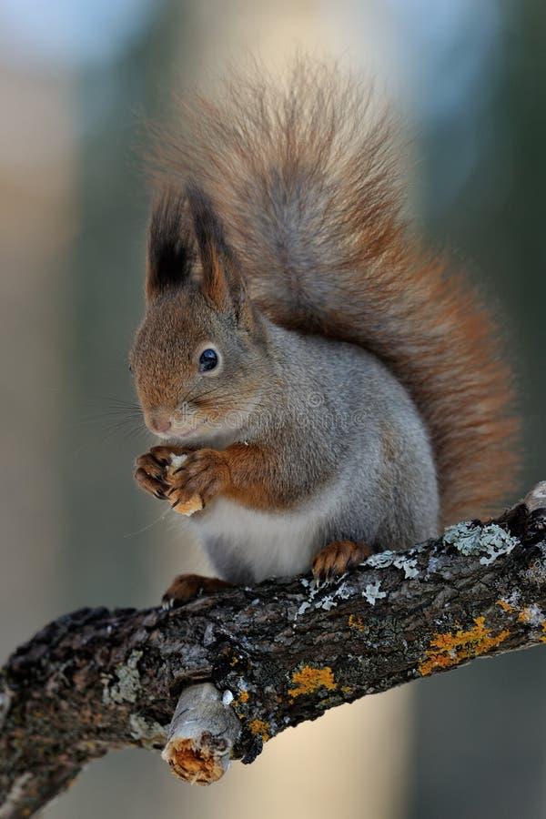 在分行的红松鼠 免版税库存图片