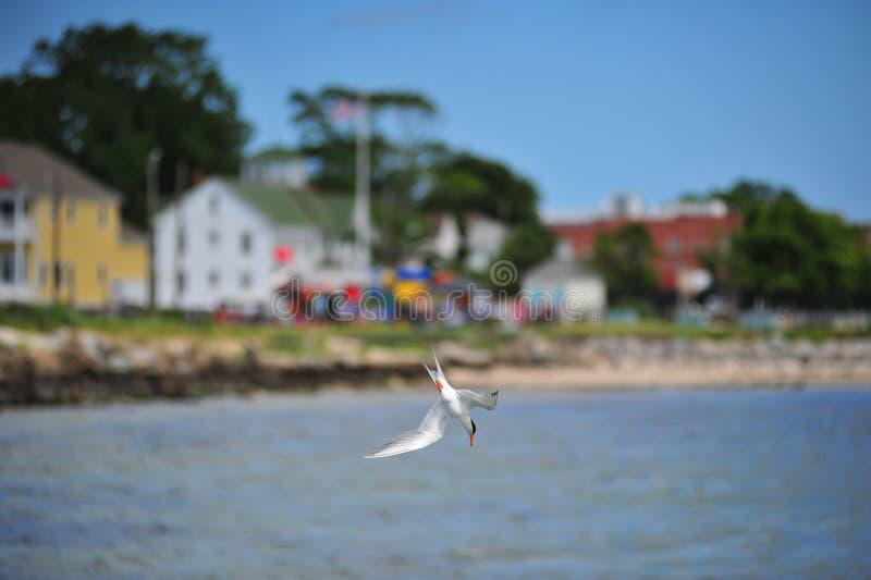 在切塞皮克湾的潜水海鸟 免版税库存照片