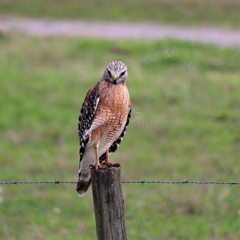 在利益篱芭栖息的红色被担负的鹰 库存图片