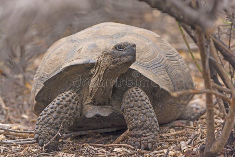 在刷子的幼小巨型草龟 图库摄影