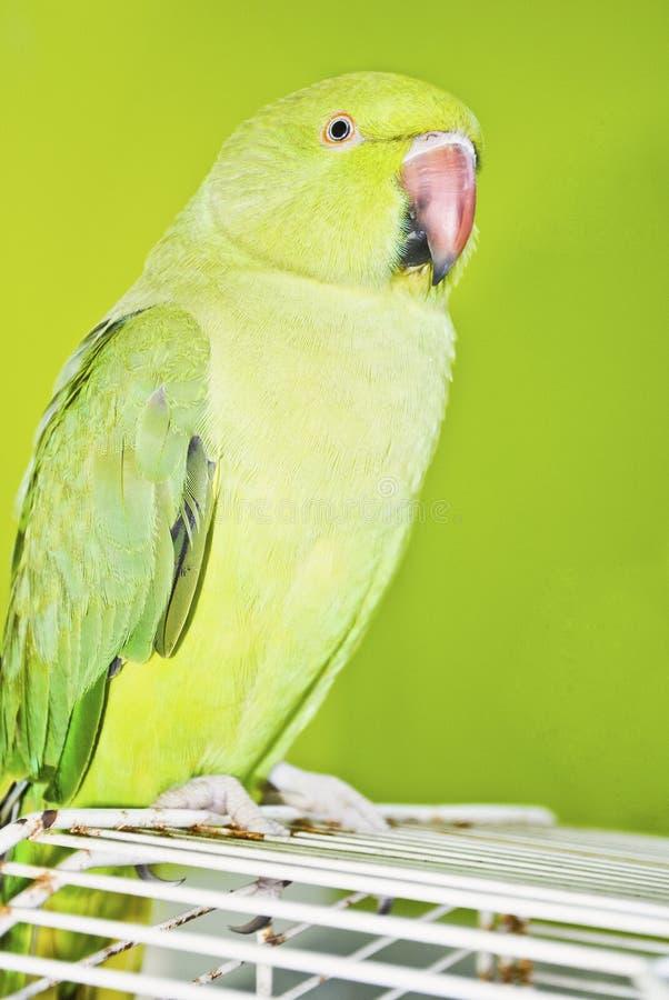 在前景一只浅绿色的鹦鹉由深绿墙壁在背景中对比了 库存图片