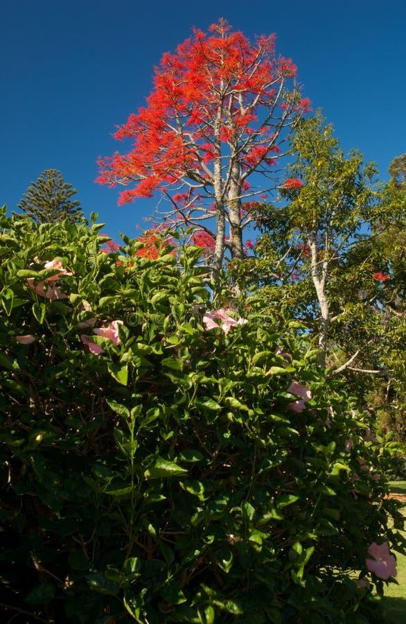 在前景和illawarra槭叶瓶木短石鳖acerifolium的中国木槿木槿罗莎sinensis在背景中 免版税库存照片