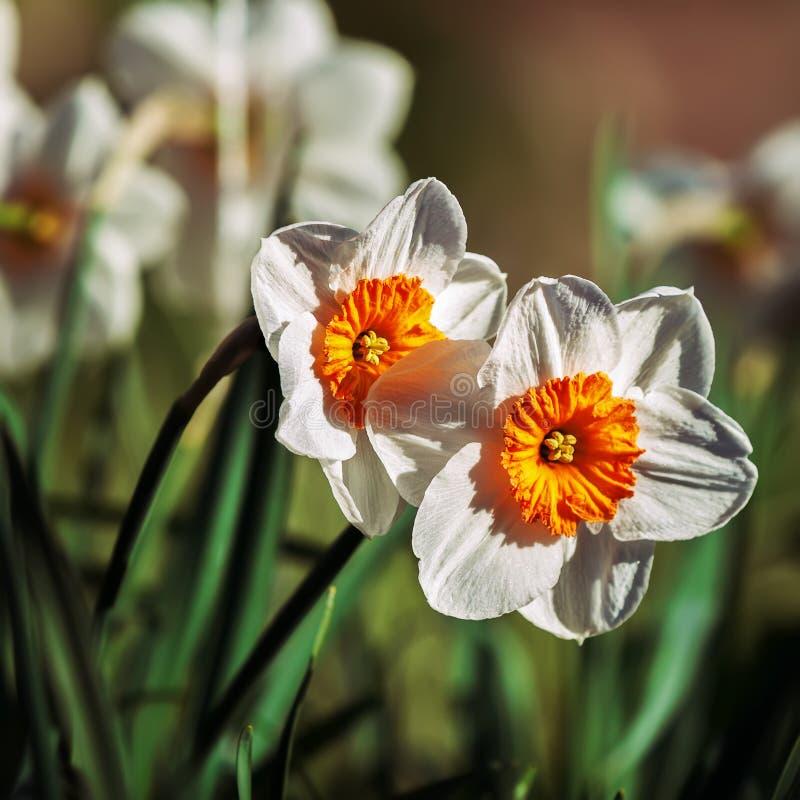 Download 在前景的两棵水仙和少量在背景中 库存图片. 图片 包括有 照亮, 花卉, 背包, 黄色, 庭院, 本质, 植物群 - 72358443