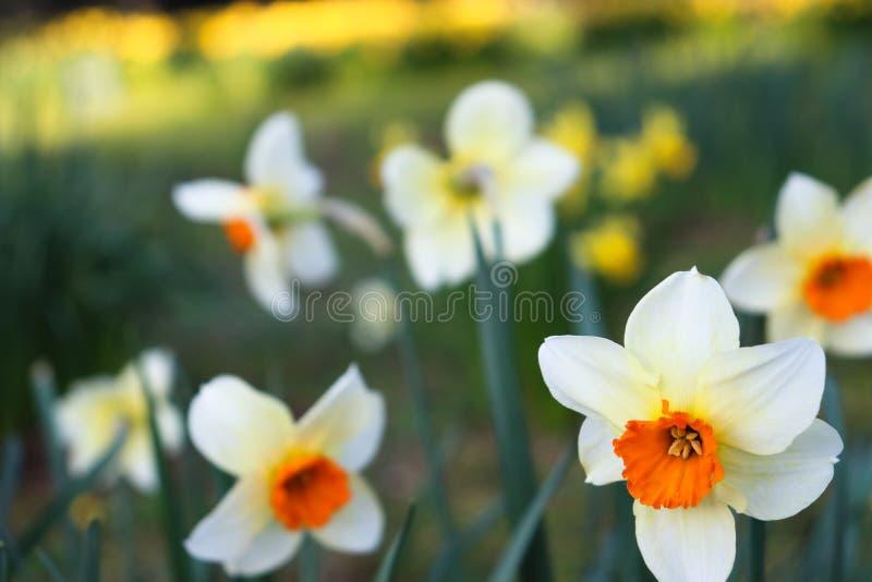 在前景的白色/红色花有被弄脏的背景 免版税库存图片