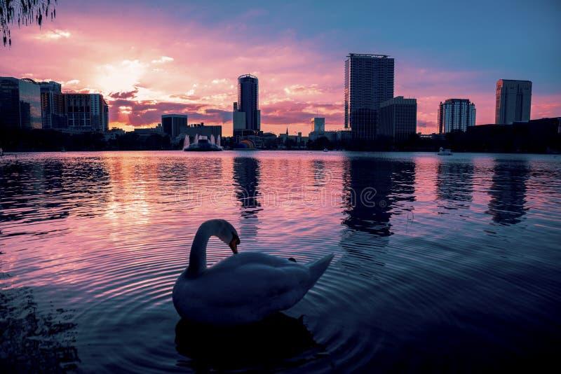 在剧烈的日落的天鹅在湖Eola 免版税图库摄影