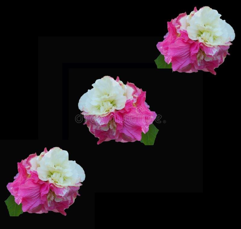 在剧烈的黑背景的3朵多变的木槿花 库存图片