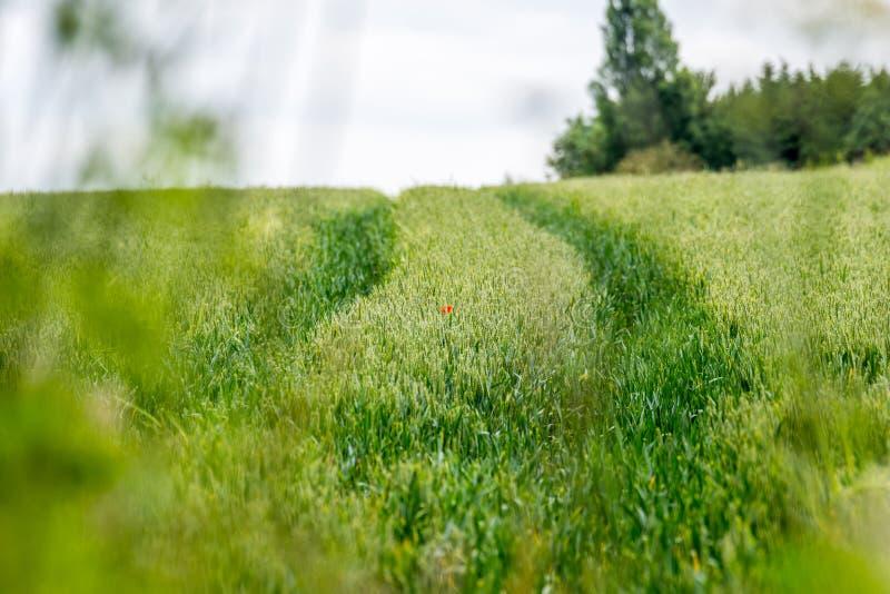 在剧烈的绿色杂草的孤立红色鸦片调遣 免版税库存照片