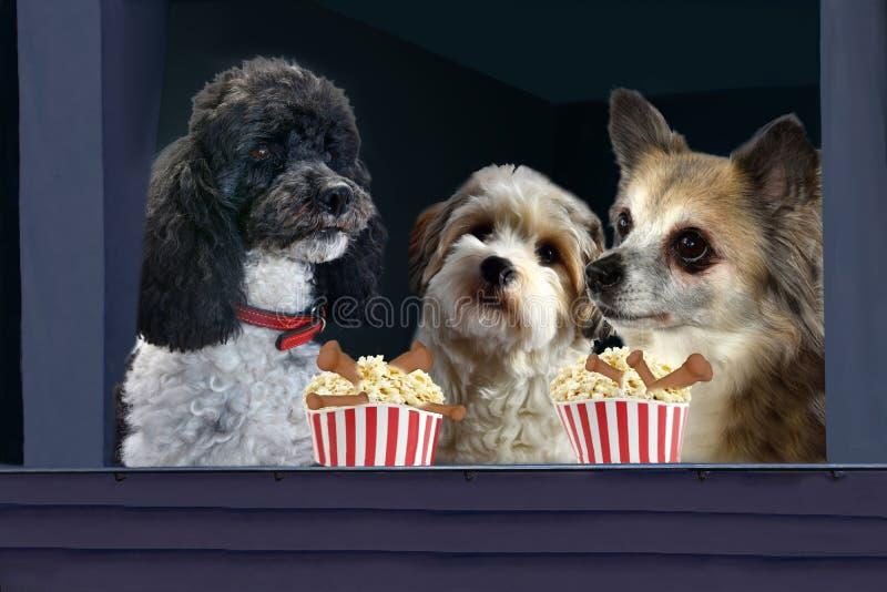 在剧院享用桶用玉米花的三条狗 库存照片