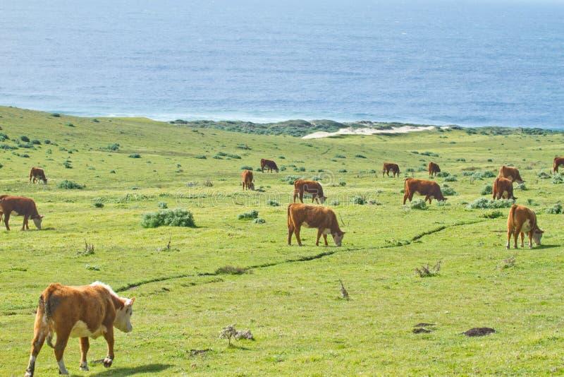 在加利福尼亚海岸线的母牛 免版税库存照片