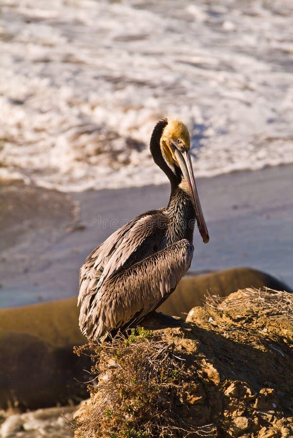 在加利福尼亚海滩的布朗鹈鹕 免版税库存照片