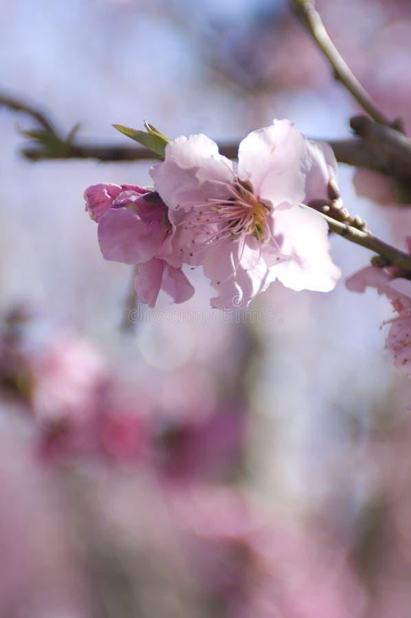 在加利福尼亚谷的扁桃开花 库存图片
