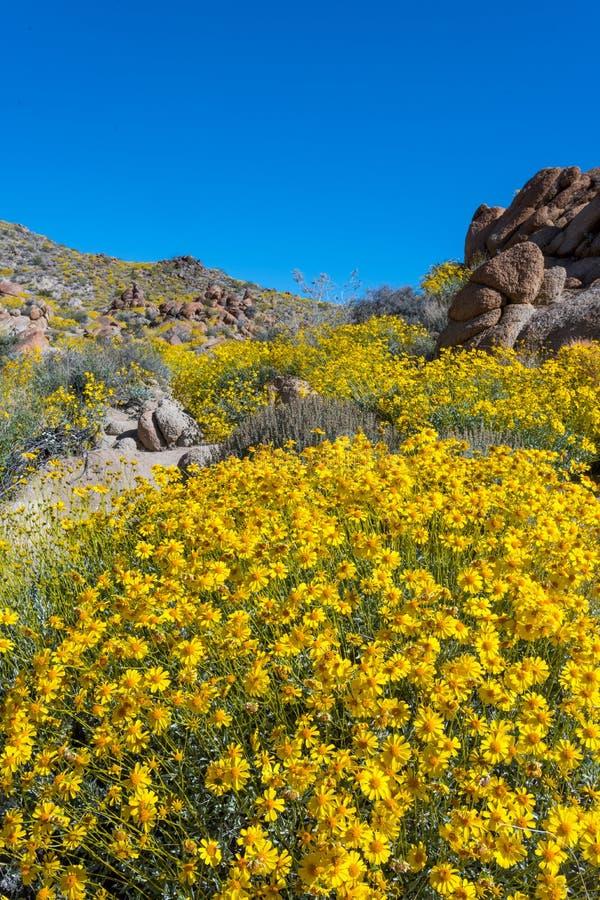 在加利福尼亚超级绽放期间的黄色Bristlebush 库存图片