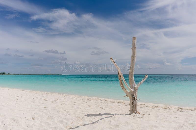 在加勒比海的岸的干燥树缓慢地Cayo白色沙子海滩的,古巴 免版税库存图片