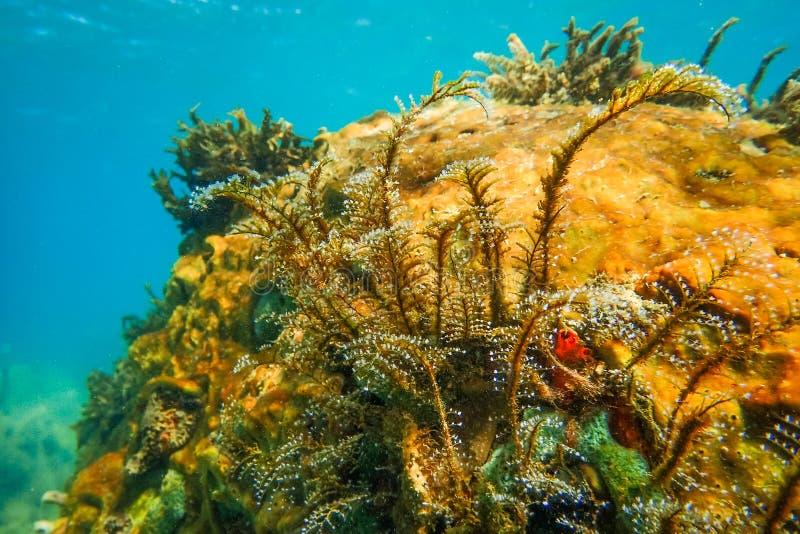 在加勒比海马提尼克岛安塞阿兰海滩,可看到硬珊瑚和软珊瑚的水下海景 图库摄影