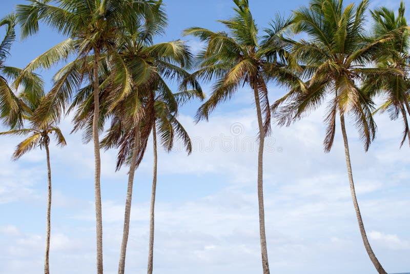 在加勒比海滩的棕榈树 图库摄影