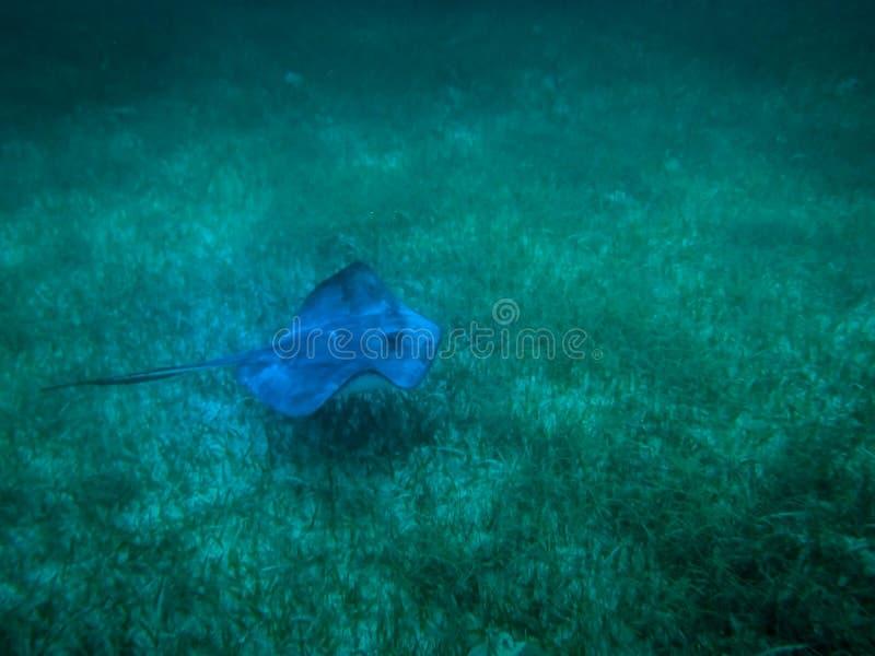 在加勒比海Caye填缝隙工,伯利兹的黄貂鱼 库存图片