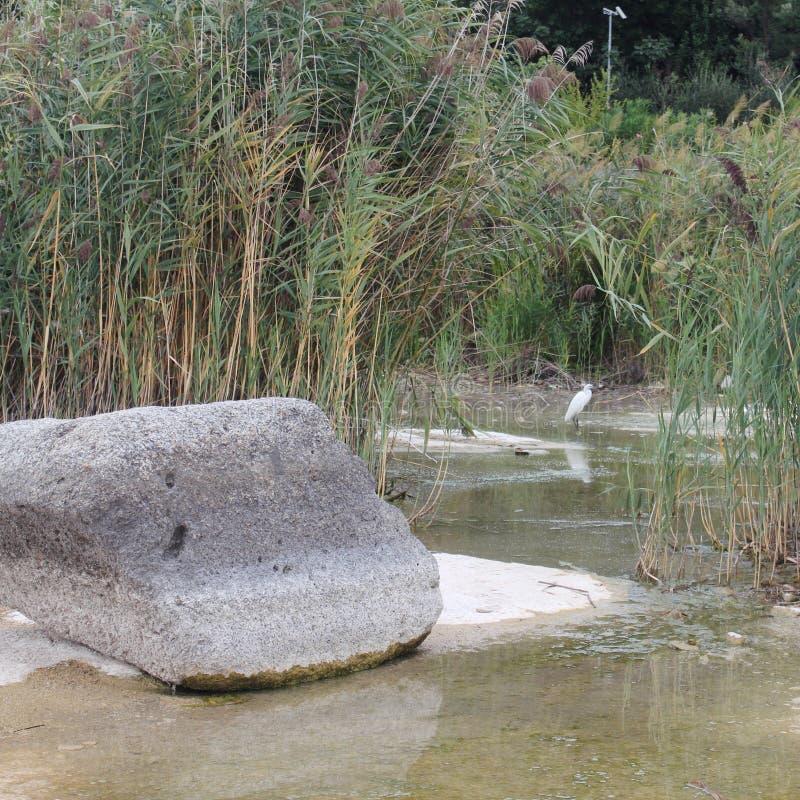 在加尔达湖的白鹭 库存照片