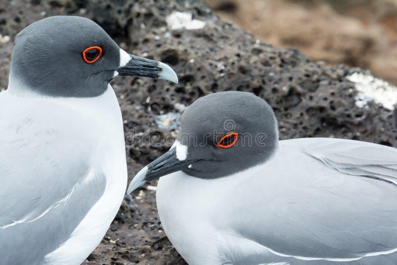 在加拉帕戈斯群岛上的燕尾状鸥 图库摄影