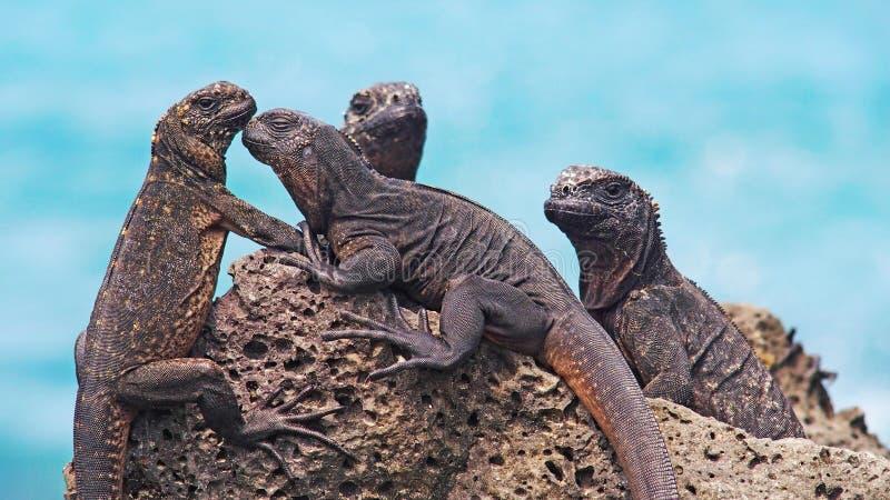 在加拉帕戈斯群岛上的美妙的海产鬣蜥蜴 免版税库存图片