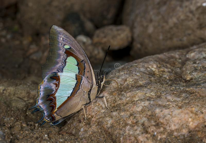 在加罗丘陵,梅加拉亚邦,印度的共同的纳瓦布蝴蝶 免版税图库摄影