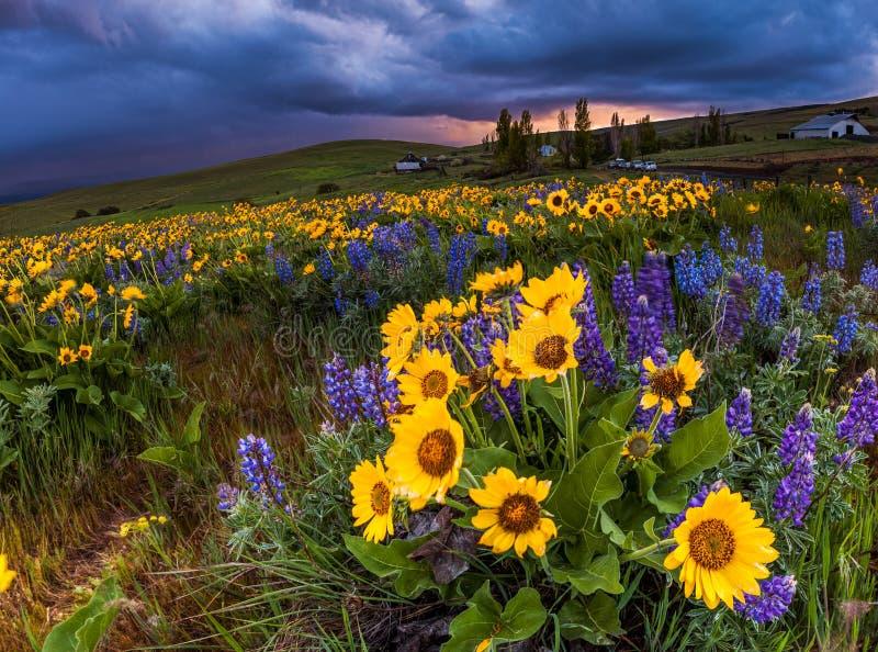 在动乱的预兆,哥伦比亚山脉国家公园,华盛顿的野花 免版税图库摄影