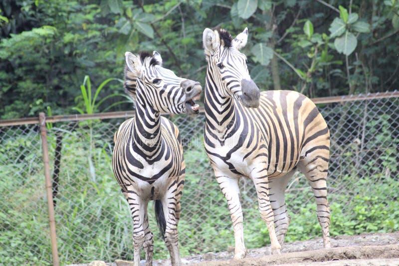 在动物园万隆印度尼西亚6的斑马 免版税库存照片