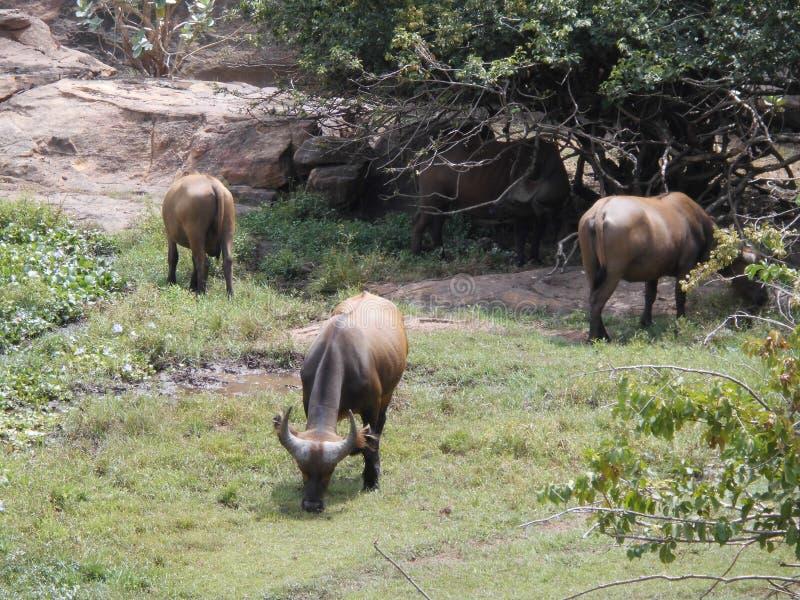 在动物园全国du马里的水牛图片 库存图片