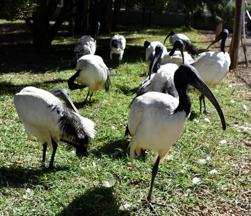 在动物园公园,Poços卡尔达斯省MG,巴西的Curiacas 库存图片