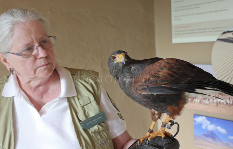 在动物园教员` s手套的哈里斯` s鹰 库存图片