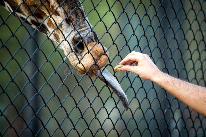 在动物园特写镜头的手哺养的长颈鹿 免版税库存照片