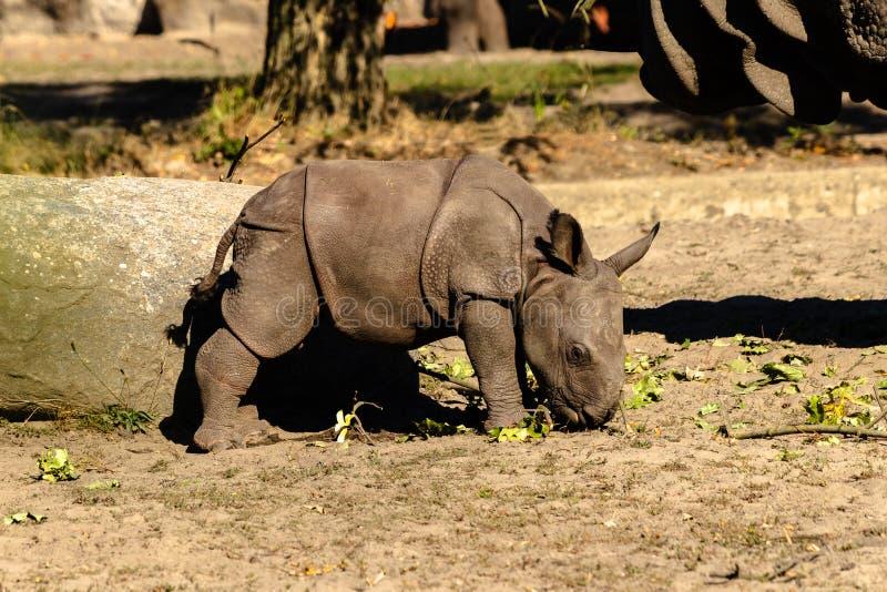 在动物园的一头新出生的小犀牛 库存照片