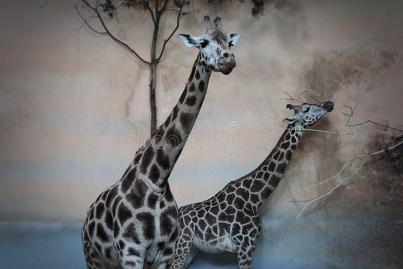 在动物园的两头长颈鹿 图库摄影