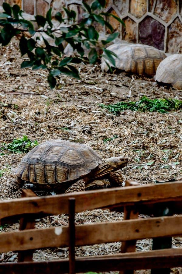 在动物园的乌龟在训练下 免版税库存照片