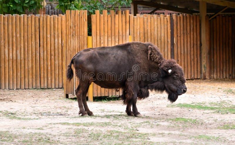 在动物园的北美野牛 库存照片