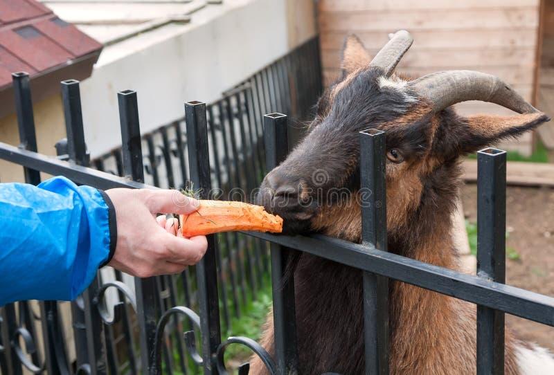 在动物园的山羊吃红萝卜的无法控制人 免版税库存图片