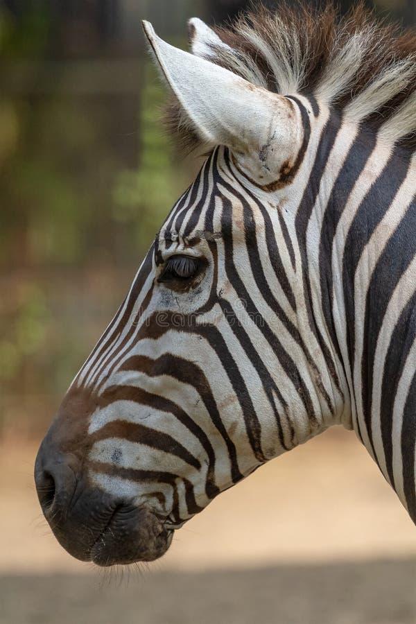 在动物园的斑马 免版税库存照片