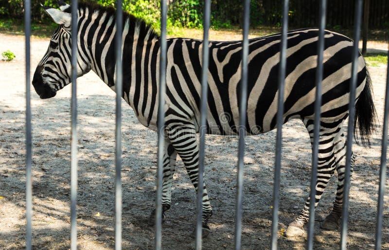 在动物园的斑马 免版税库存图片