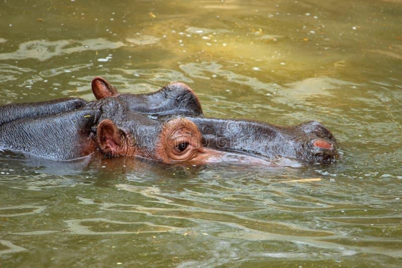 在动物园的河马 免版税库存图片